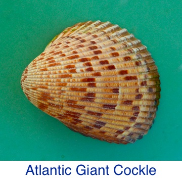 Cockle -Atlantic Giant ID