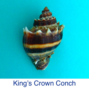 Conch King's Crown