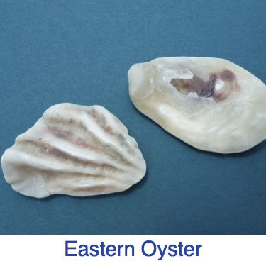 Eastern Oyster Shell ID