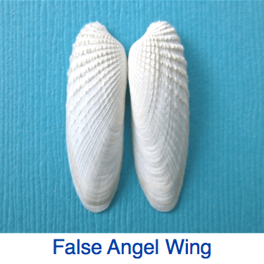 False Angel Wing Shell ID