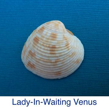Lady In Waiting Venus Shell ID