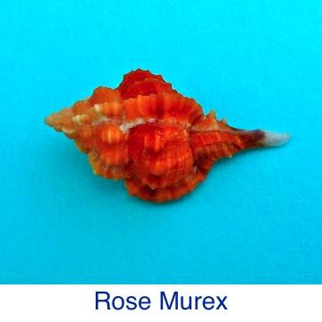 Murex Rose Shell ID