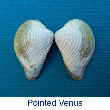 Pointed Venus Clam ID