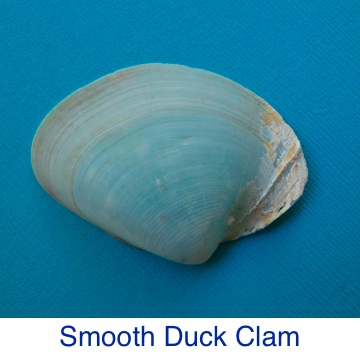 Smooth Duck Clam Shell ID