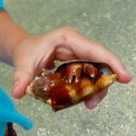 Hermit crab in fighting conch