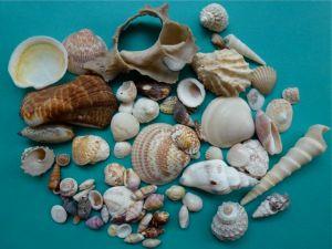 seashells from Rocky Point Puerto Penasco