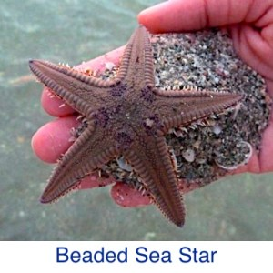 Royal Beaded Sea Star