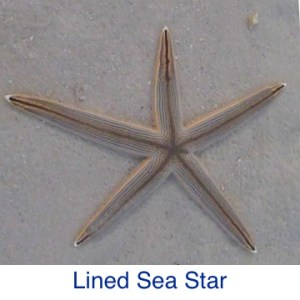 Lined Sea Star Starfish ID