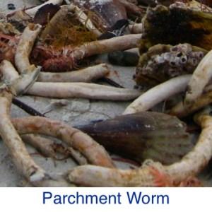 Parchment Worm