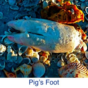 Pigs Foot on Beach