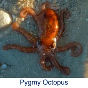Pygmy Octopus ID