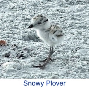 Snowy Plover ID