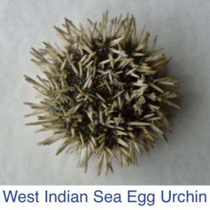 West Indian Sea Egg