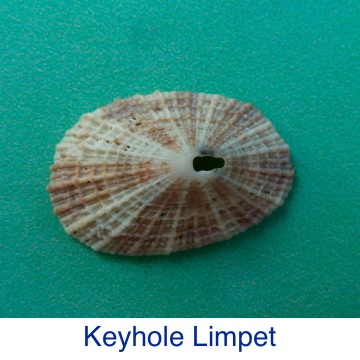 Keyhole Limpet Shell Identification