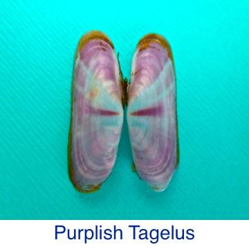 Purplish Tagelus Shell ID