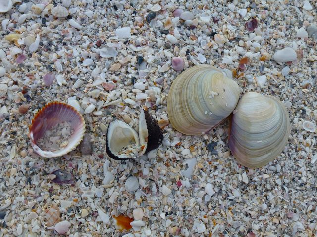 Cockles, Conchs and Quahogs