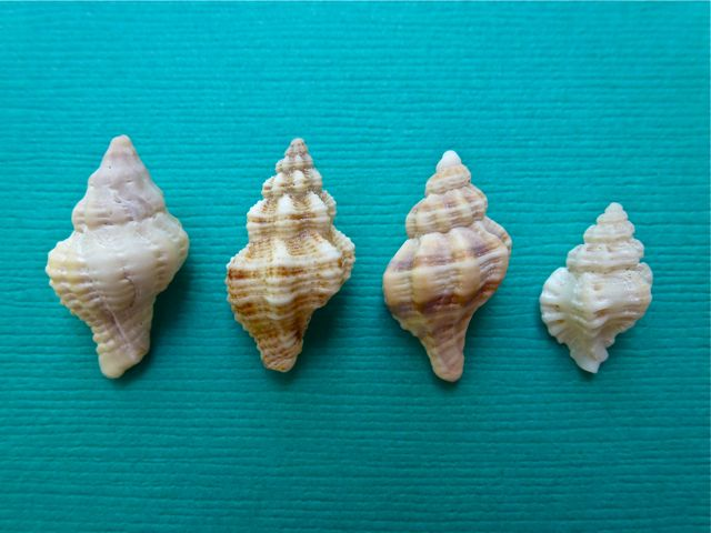 Similar Small Sanibel Seashells