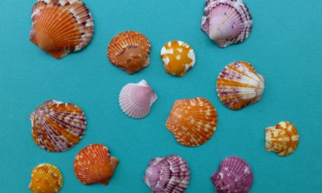 Calico and Bay Scallop Seashells