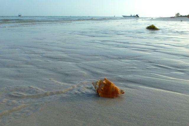 sanibel beach conch seashell