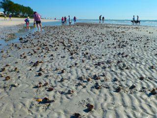 liVe fighting conch shells mass