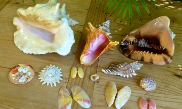 Best Seashells From Our Vacation to Turks and Caicos