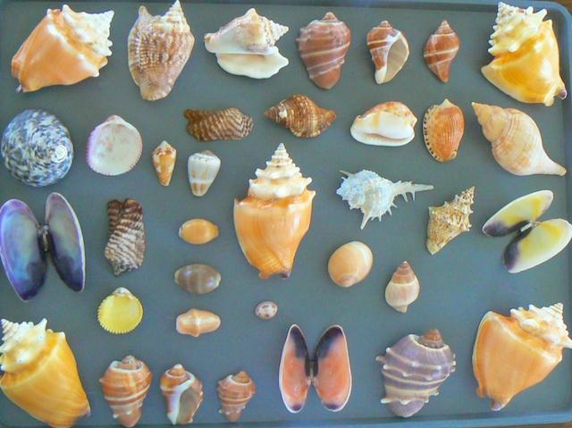 Caribbean seashells from Guantanamo Bay Cuba