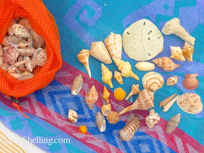 Shelling Throughout The Weekend On Sanibel and Captiva