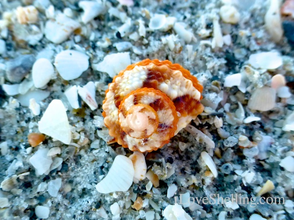 Seashells At North Tip Of South Seas Island Resort