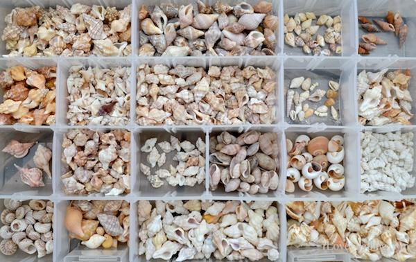 tiny shells collected on Sanibel Island Florida