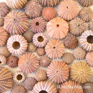 colorful sea urchins