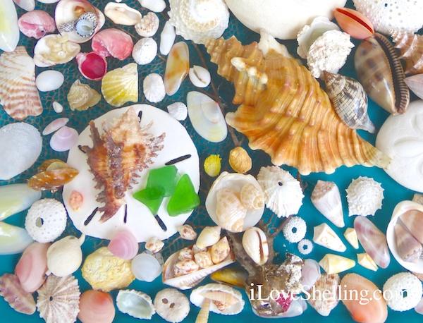 caribbean sea shells from Grand Bahama Island