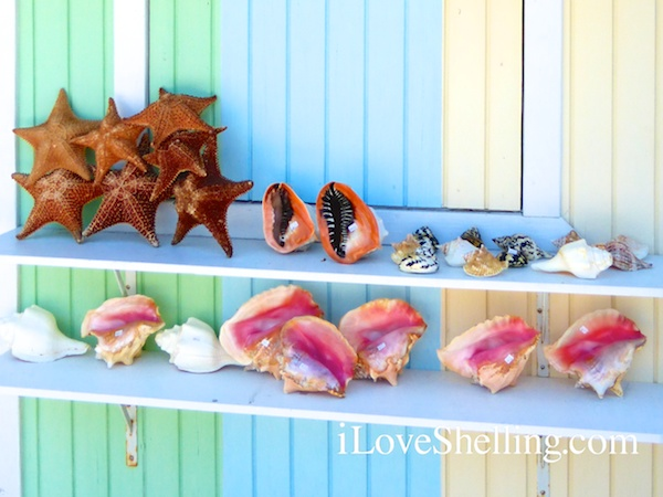 colorful conch shells in bahamas