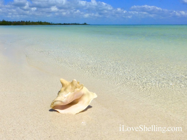conch shell on sandy beach in the bahamas