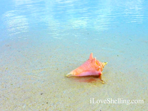 pink conch shell in the bahamas