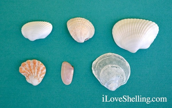 6 Most Common Shells On Sanibel Island, Florida