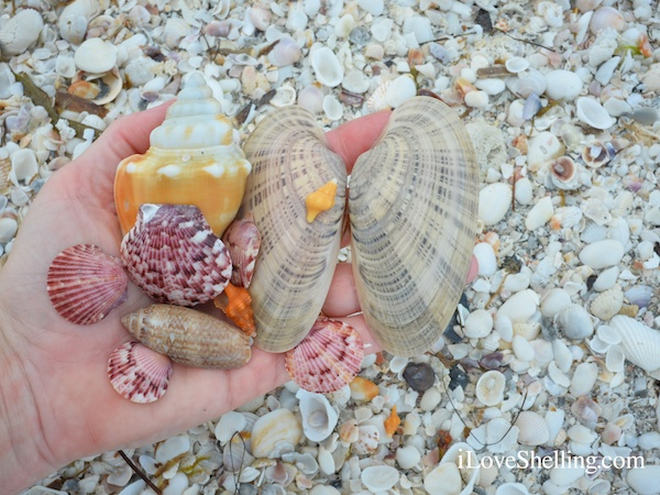 Sanibel Shelling Report Before the Rain