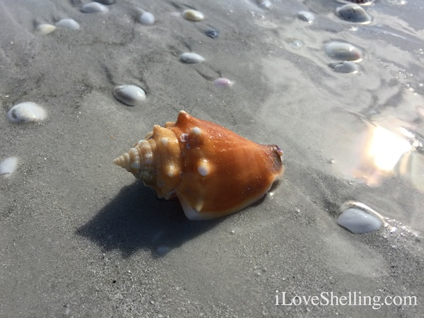 High West Winds Bring In Seashells and Sea Squirts To Sanibel Beaches