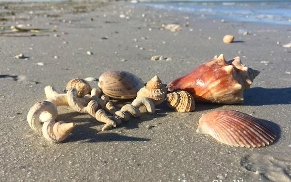 i Love Shelling – Clearwater Caladesi Beaches