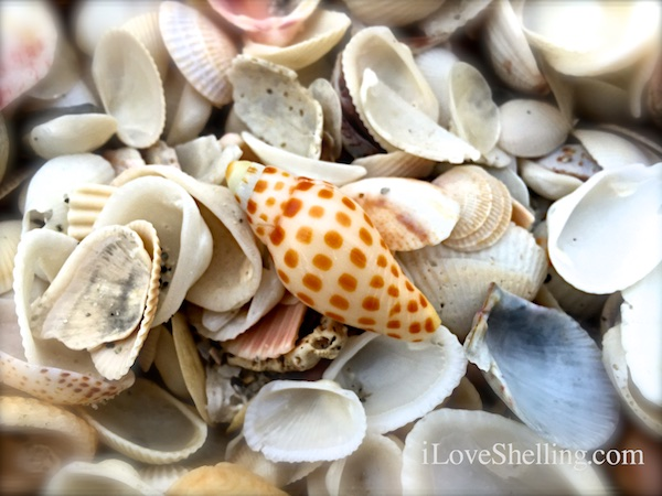 Junonia with clam shells on Sanibel