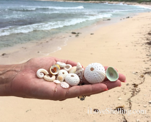 collecting shells and urchins in BVI Anegada