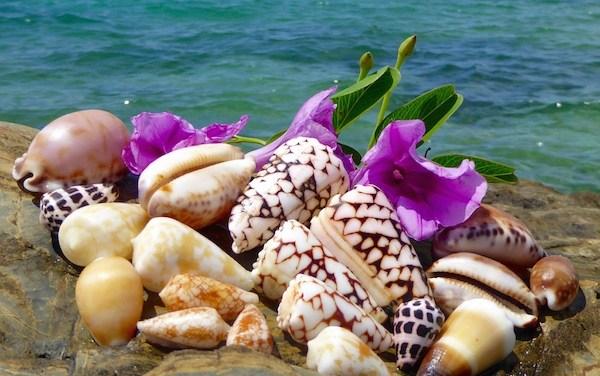 Indo Pacific Seashells Of Okinawa Japan
