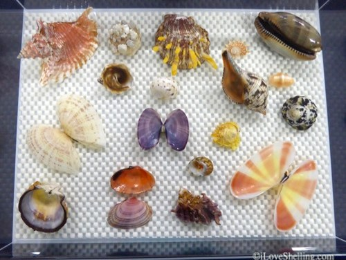 Learning about Seashells at the 2016 Sanibel Shell Festival