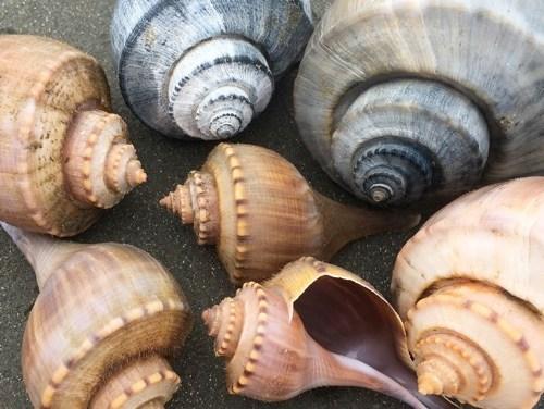 My Inner South Carolina Seashell Artist Is Channeling Whelks