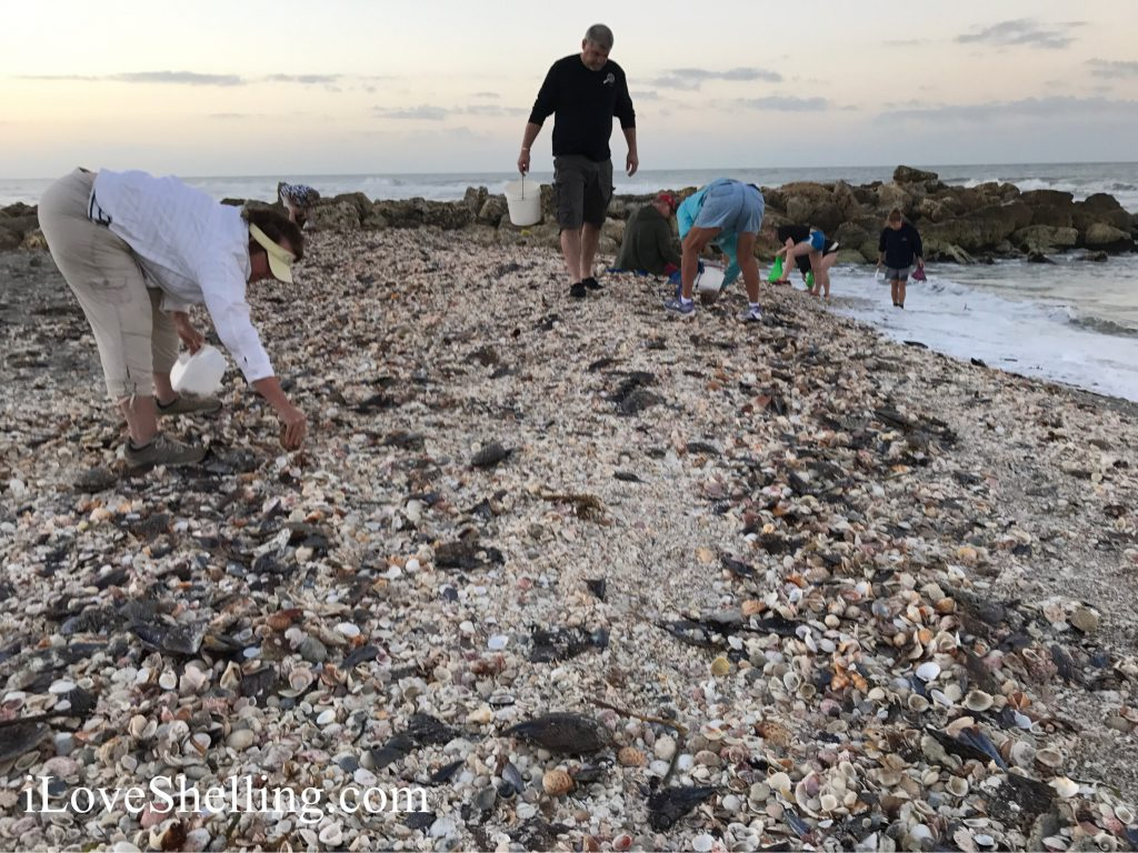 hundreds of seashells wash up on shell beach Sanibel Captiva