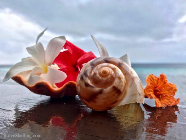 Channeled tun Tonna canaliculata Solomon islands seashell-1