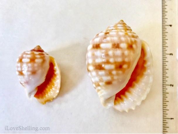 Solomon Island sea shell Tun