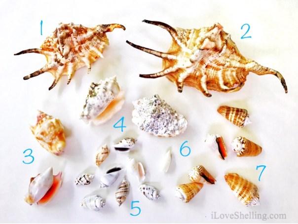 Solomon Islands Conch shells identification