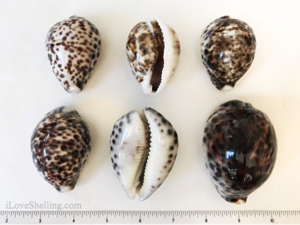 Solomon Islands Tiger Cowries