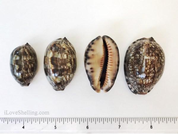 Solomon Islands arabian Cowry seashells