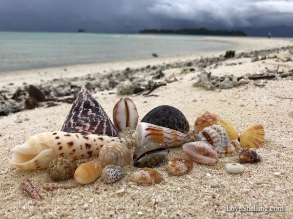 seashells of Solomon Islands-1
